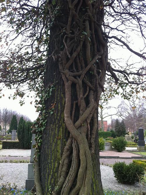 Ett träd har flätat sig runt ett annat, större träds stamm.