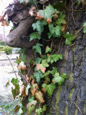 Murgröna växer på stam.