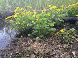 Gula blommor vid vattenbryn.
