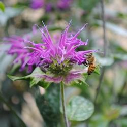 Bi som sitter på lila blomma.