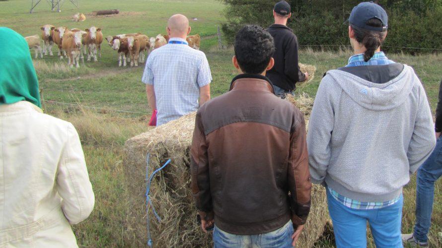 Elever står vid höbalar och gör sig redo att mata kossor.