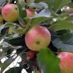 Äpple på kvist.