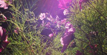 Lila blommor i motljus.
