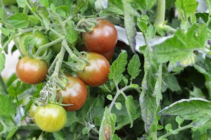 Tomater mognar på kvist.