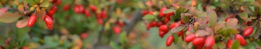 Röd bär på gren.