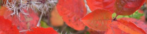 Röda höstlöv.