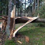 Träd knäckt i storm.