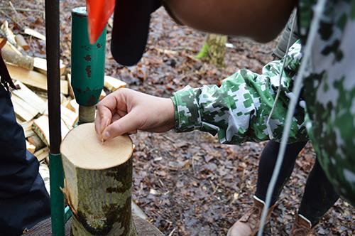 Elev räknar ringar på stam.