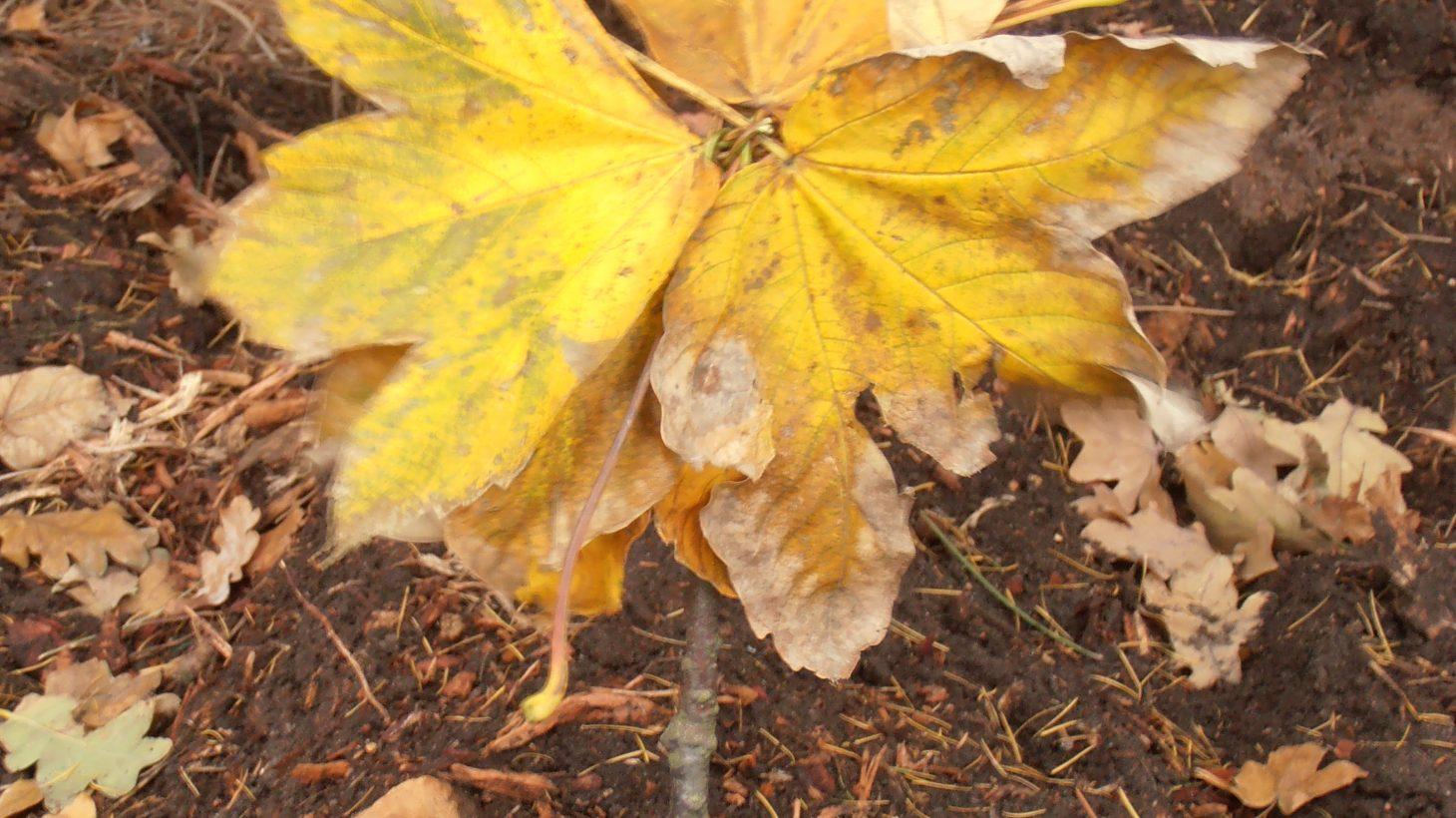 Solros bildad av löv.