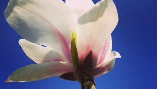 Magnoliablomma.