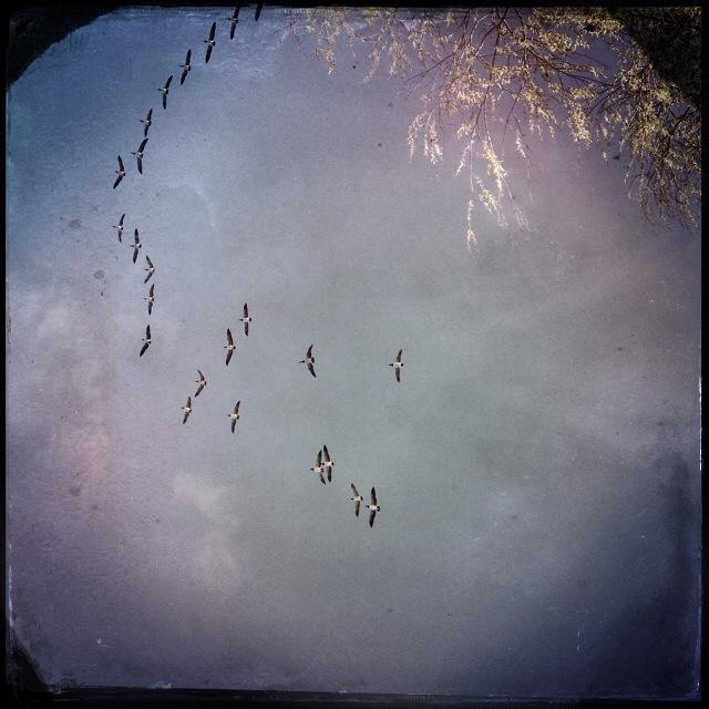 Fåglar flyger i formation.