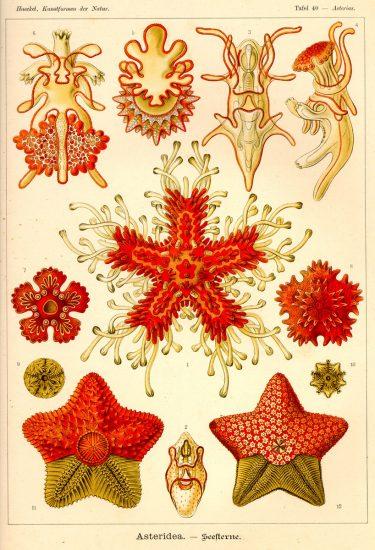 Haeckel Asteridea. Konstformer i naturen, Ernst Haeckel (1904)