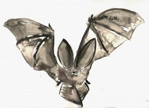 Corynorhinus townsendii