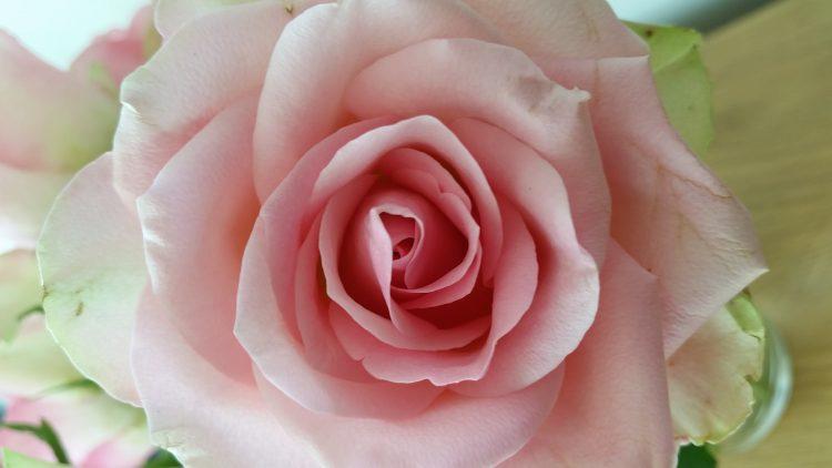 En ljusrosa ros.