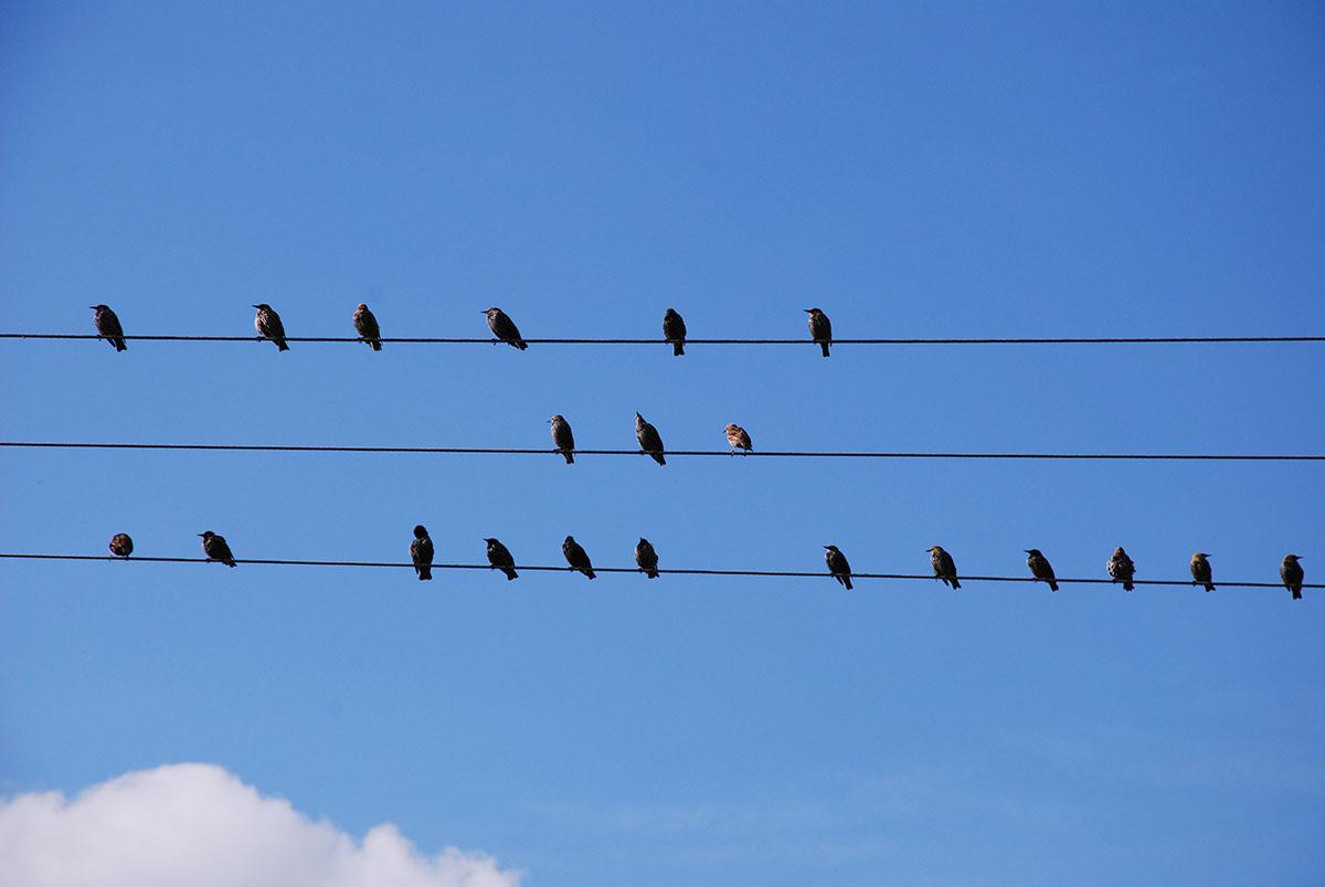 Fåglar sitter på ledning.