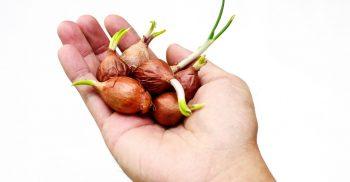 Hand håller upp lökar som börjat gro.