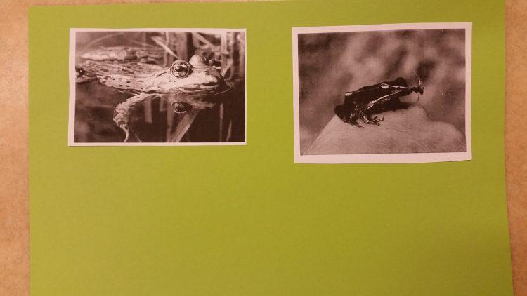 Bilder på grodor.