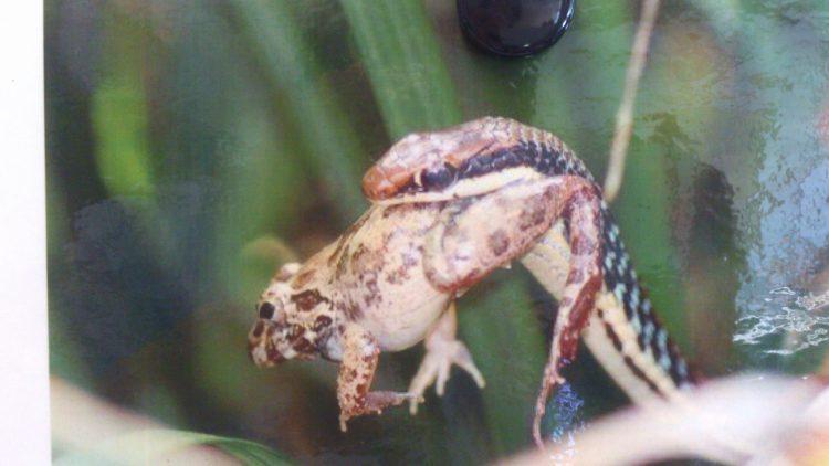 Bild på orm som fångat en groda.