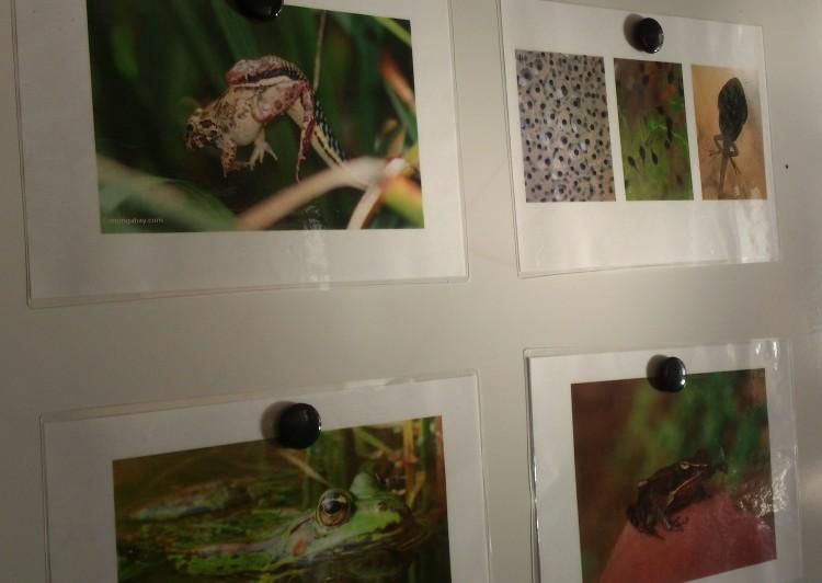 Bilder på grodor uppsatta.