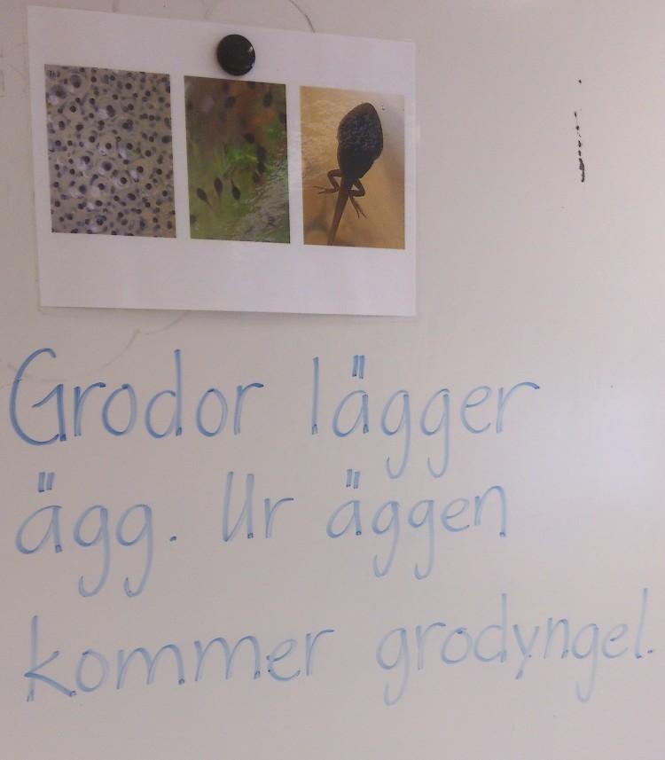 Fakta om grodor på tavla.