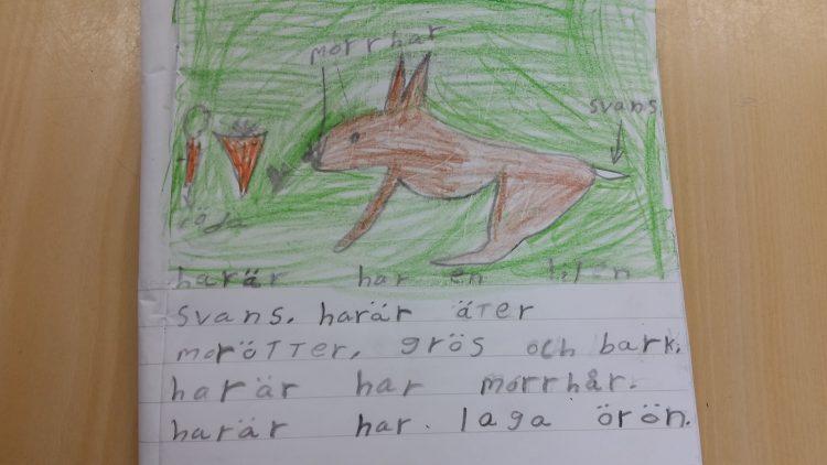 Text och teckning om och av harar.