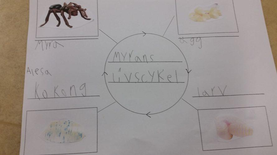 Tabell över myrans livscykel.