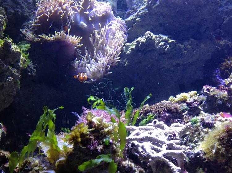 Clownfisk i akvarium.