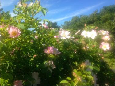 Ljusrosa utslagna rosor på buske.