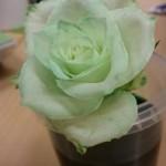 Vit ros som skiftar i grönt.