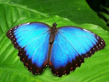 Blå fjäril.