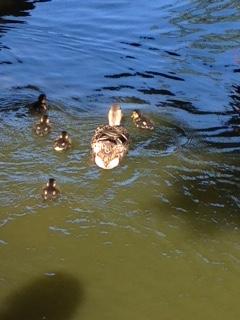 Anka simmar iväg med sina ungar.