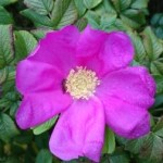 Rosa ros.