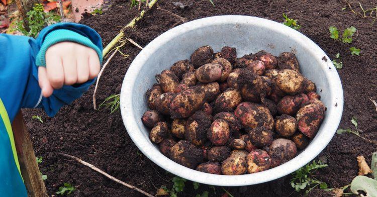 Barn med skål med nyskördad potatis.