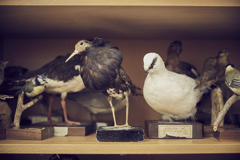 Uppstoppade fåglar.