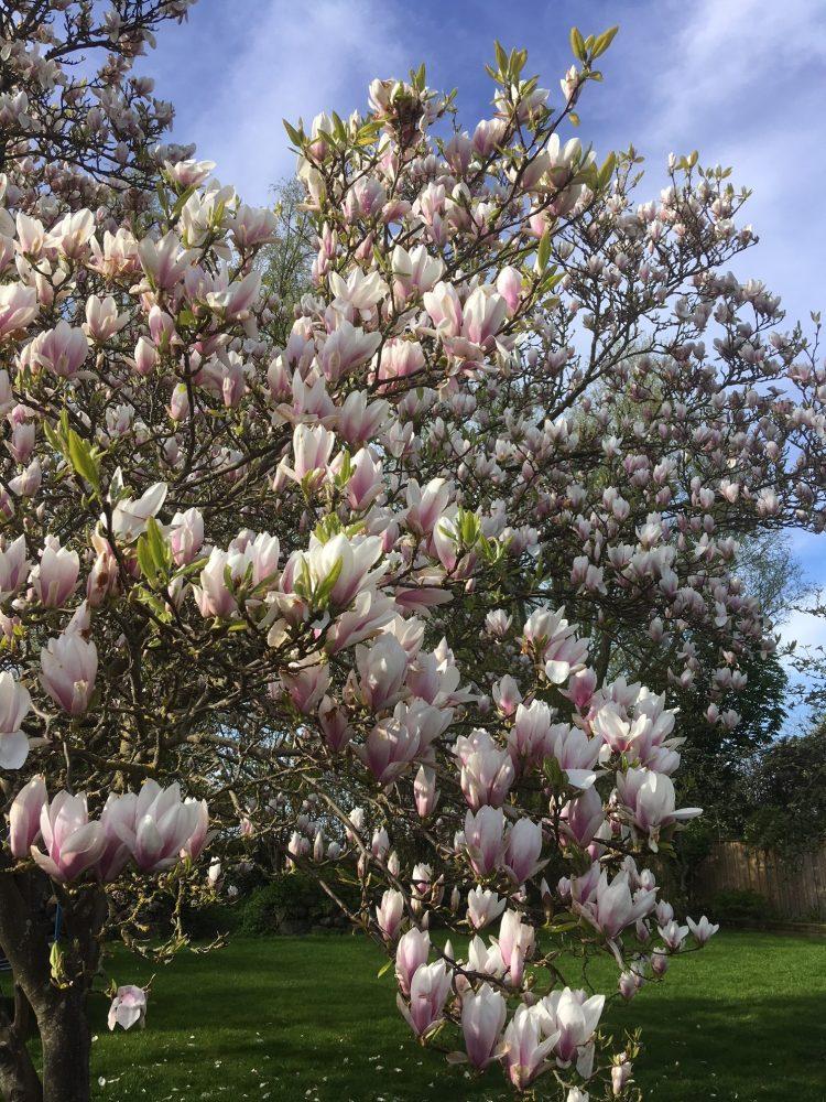 Blommande magnolia.