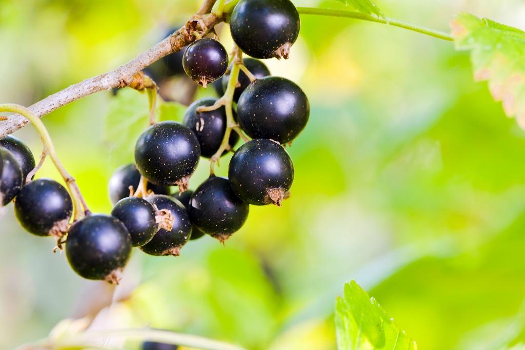 Svarta vinbär på kvist.