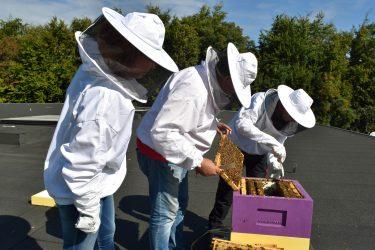 Tre personer i skyddsdräkt öppnar bikupor.