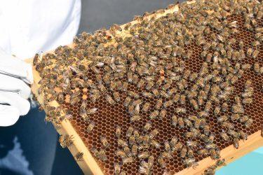 Bin gör honung.