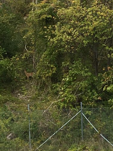 Rådjur i skogsbryn.