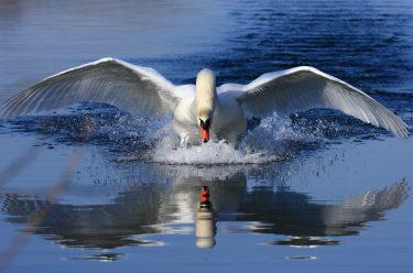 Svan breder ut vingarna och landar på vatten.