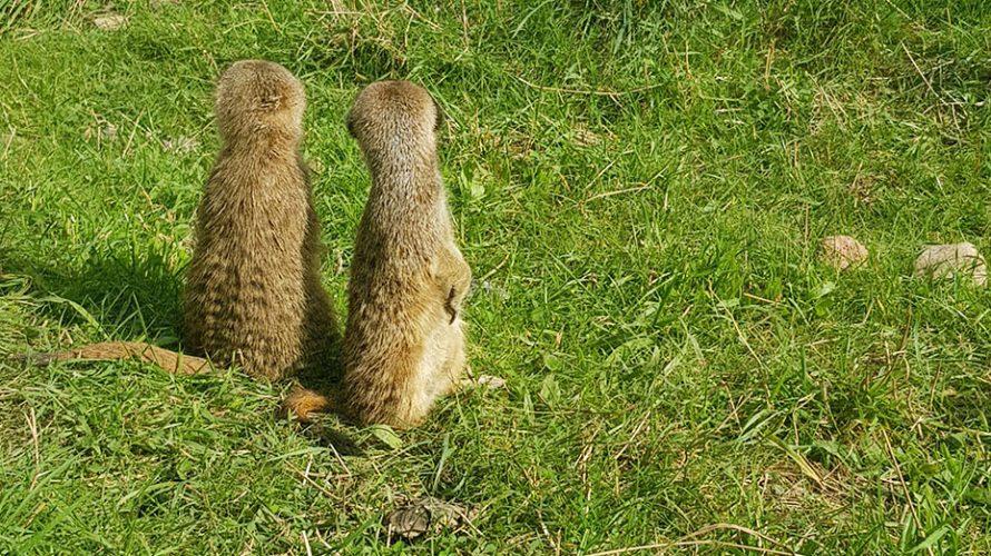 Tre surikater