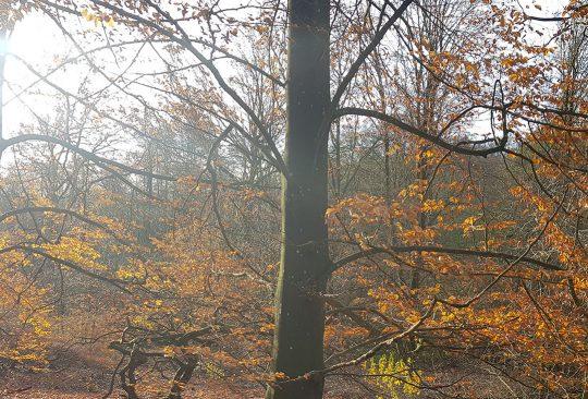 Höstskog i motljus