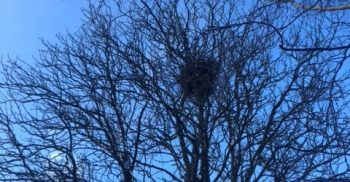 Fågelbo i bart träd.