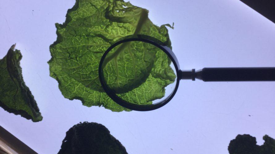 Förstoringsglas förstorar ett salladsblad.