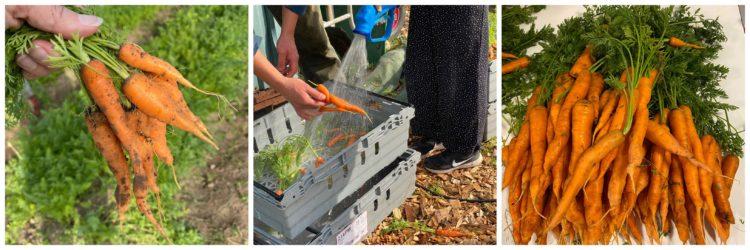 Elever skördar morötter.