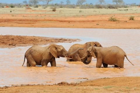 Elefanter står i en flod.